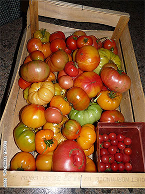 Greenhouse Tomatoes - Growing Tomatoes - Red Tomato